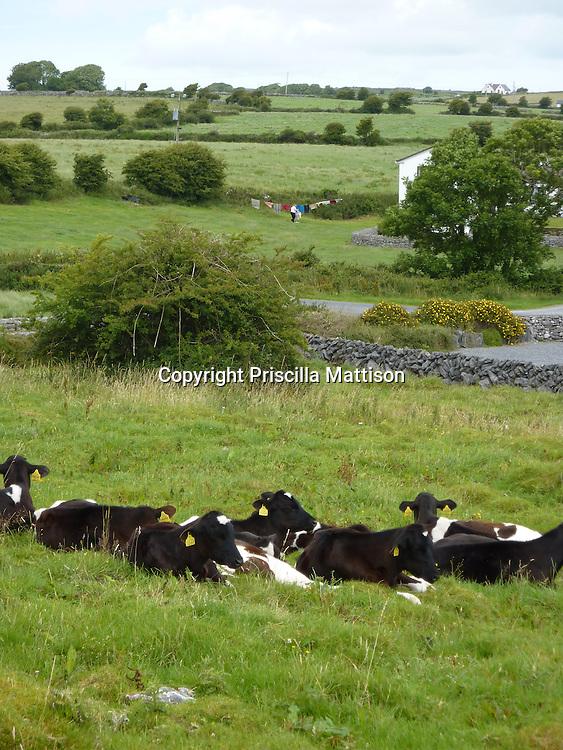 Republic of Ireland - July 17 2010:  Cows rest in a field.
