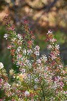 Grevilea flowering  at Wild Ridge Organics
