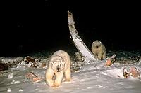 polar bears, Ursus maritimus, scavenging a bowhead whale, Balaena mysticetus, carcass at night, 1002 coastal plain of the Arctic National Wildlife Refuge, Alaska, polar bear, Ursus maritimus