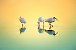 Three white ibis probe the shallows as the sun sets.