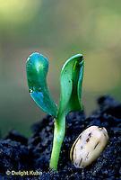 HS13-052b  Sunflower - seedling with seed coat on soil -  Helianthus spp.
