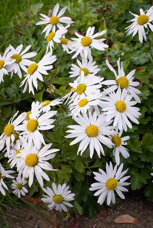 Chrysanthemum yezoense in white flower daisy, aka Dendranthema yezoense aka Hokkaido chrysanthemum aka Chrysanthemum arcticum hort.
