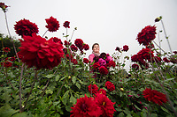 Last of the summer blooms -The pick of the season's spectacular dahlia crop