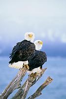 Two Bald eagles perched on driftwood along the shore of Kachemak Bay, Homer, Alaska.