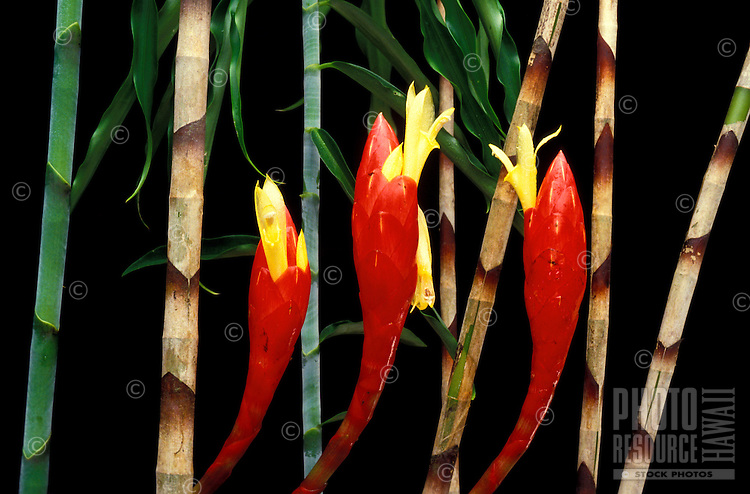 Close-up of three red snake ginger (Costus stenophyllus) bracts and yellow flowers with green-and-brown stalks and foliage behind them against a black background