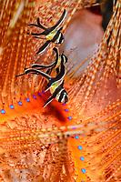 juvenile Banggai cardinalfish, Pterapogon kauderni, Lembeh Strait, North Sulawesi, Indonesia, Pacific