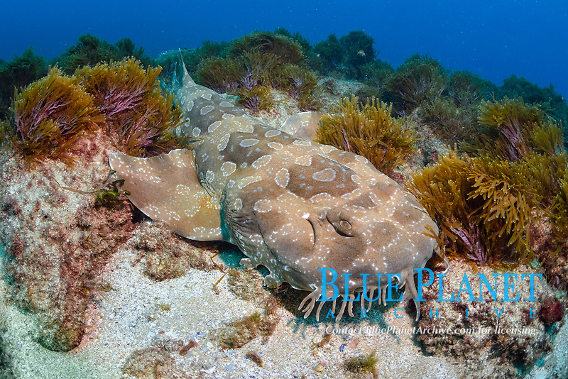 spotted wobbegong, Orectolobus maculatus, endemic species, Cook Island Marine Reserve, Tweed Heads, New South Wales, Australia, South Pacific Ocean