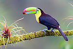 Adult keel-billed toucan (Ramphastos sulphuratus) feeding on fruit seed in forest canopy. Boca Tapada, north east Costa Rica.