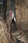 Jake eastern wild turkey in spring