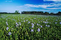 Water Hyacinth, Eichhornia crassipes, blooming, Lake Corpus Christi, Texas, USA, April 2003