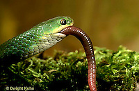 1R04-110z  Smooth Green Snake - eating worm prey - Opheodrys vernalis