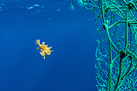sargassum frogfish, Histrio histrio, looking for shelter in a floating, abandoned fishing net in the open ocean, Dominica, Caribbean Sea, Atlantic Ocean