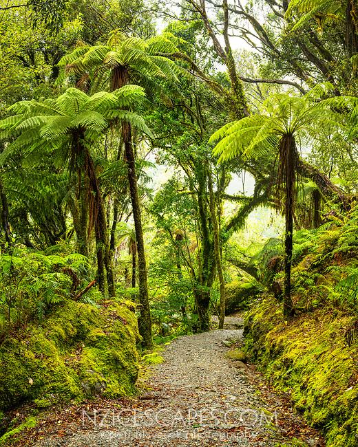 Walking track through rainforest with tree ferns, pongas, near Franz Josef Glacier, Westland Tai Poutini National Park, West Coast, South Westland, UNESCO World Heritage Area, New Zealand, NZ