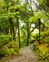 Walking track through rainforest with tree ferns, pongas, near Franz Josef Glacier, Westland Tai Poutini National Park, West Coast, South Westland, UNESCO World Heritage Area, New Zealand, NZ