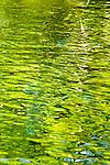 Sturgeon Swimming at Bonneville Hatchery, Oregon