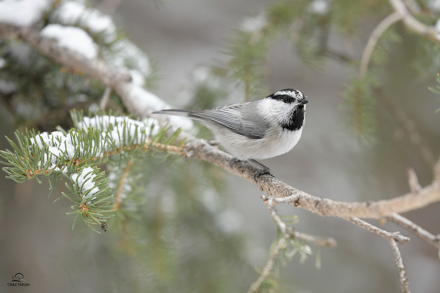 Mountain Chickadee (Poecile gambeli) takes a brief rest on a pine branch before darting away.  Like their cousins the Black-capped Chickadee, these tiny songbirds are common, but can be very skittish, often pausing only for a second or two to feed before flying away.