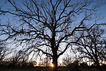 Brazoria County, Damon, Texas; a large, leafless, live oak tree standing silhouette in the pasture at sunset against a clear blue sky