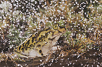 Couch's Spadefoot (Scaphiopus couchii), adult during rainfall, Rio Grande Valley, Texas, USA, June 2006