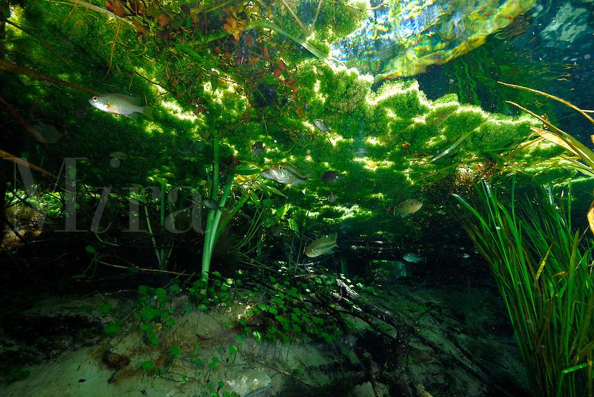 Largemouth bass, Micropterus salmoides, and Dollar sunfish, Lepomis marginatus, Ichetucknee Springs State Park, Florida