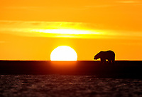 Polar bear walks along the Beaufort Sea at sunset in Alaska's Arctic.