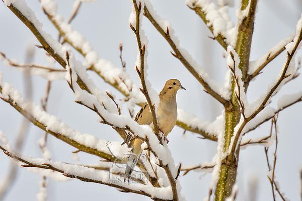 Mourning Dove (Zenaida macroura) on snow covered branch.  Pacific Northwest.  Winter.
