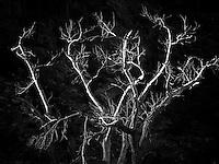Dead cottonwood tree. Zion National Park, Utah.
