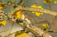 Eastern gray squirrel (Sciurus carolinensis) among fall leaves.