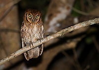 My guide and I spied this small owl flying into a tree during a night drive. Eventually we tracked it down and got in a good position for photos.