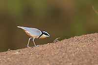Egyptian Plover on the banks of the upper Gambia River at Wassadou, Senegal