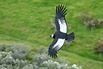 Male adult Andean condor (Vultur gryphus) in flight. Estancia Olga Teresa, southern Patagonia, Chile.