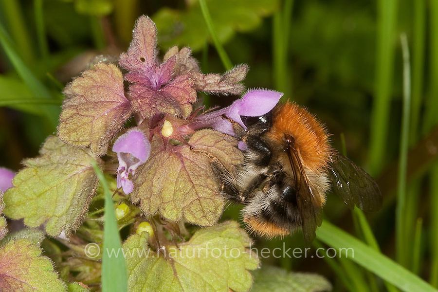Ackerhummel, Acker-Hummel, Acker - Hummel, Bombus pascuorum, syn. Bombus agrorum, Blütenbesuch an Taubnessel, Nektarsuche, Bestäubung, common carder bee