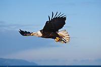 Bald eagles soaring over Kachemack Bay in Southwest Alaska.