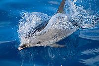 Atlantic spotted dolphin, Stenella frontalis, Azores Islands, Portugal, North Atlantic
