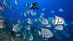 Diver and Atlantic Spadefish, Islamorada, Florida