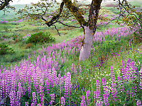 Close up of lupines and oak tree in prairie. Redwood National Park, California