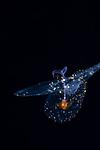 Pteropod, Corolla SPectabalis, sea butterfly