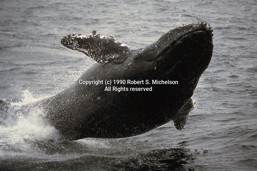 Endangered Humpback Whale calf in full breach
