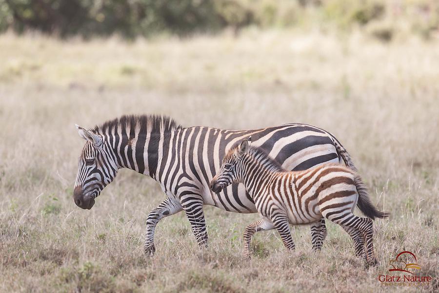 Common (Plains) Zebra (Equus burchellii) foal stays close to its mother, Lewa