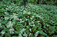 Daslook (Allium ursinum),