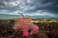 Bougainvillea in AA lava field, Hawaii Volcanoes National Park, Hawaii Island