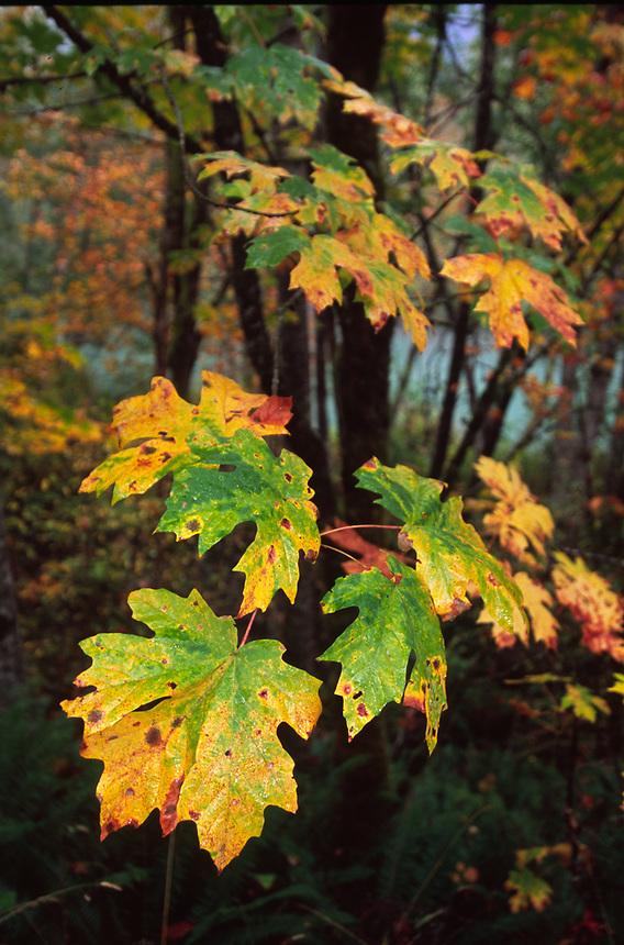 Hoh Rain Forest, Olympic National Park, Washington, US
