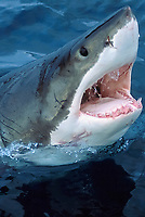 Great White Shark, Carcharodon carcharias, South Australia, Southern Ocean
