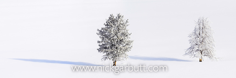 Lodgepole pines (Pinus contorta) covered in heavy early morning hoar frost (-20C). Hayden Valley, Yellowstone, USA. January (stitched image)