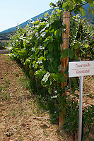 Vines. Goustolidi vine variety. Biblia Chora Winery, Kokkinohori, Kavala, Macedonia, Greece