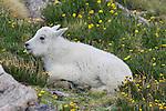 Mountain Goat kid