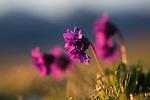 Mountain Primrose (Primula glutinosa) at sinrise growing high mountian ridge. Nordtirol, Austrian Alps, Austria, July.