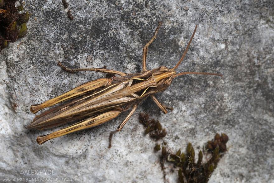 Grasshopper {Acrididae}, Triglav National Park, Julian Alps, Slovenia. July.