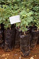 Gum Arabic.  Acacia Senegal Tree Nursery Seedlings, Niger, West Africa.