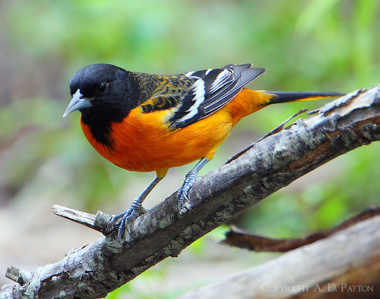 Adult male Baltimore oriole in fall migration