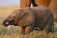 Young African elephant calf (Loxodonta africana) drinking.  Matusadona National Park, Zimbabwe.